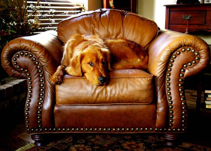 Image of a brown leather chair with a dog resting on it